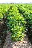 Καλλιεργήσιμο έδαφος πατατών Στοκ φωτογραφία με δικαίωμα ελεύθερης χρήσης