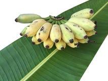 Καλλιεργημένη μπανάνα, ταϊλανδική μπανάνα και πράσινο φύλλο μπανανών που απομονώνονται επάνω Στοκ εικόνες με δικαίωμα ελεύθερης χρήσης