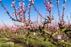 Καλλιεργημένοι τομείς των δέντρων ροδακινιών που αντιμετωπίζονται με τα μυκητοκτόνα στοκ εικόνα με δικαίωμα ελεύθερης χρήσης