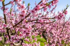 Καλλιεργημένοι τομείς των δέντρων ροδακινιών που αντιμετωπίζονται με τα μυκητοκτόνα στοκ φωτογραφίες με δικαίωμα ελεύθερης χρήσης
