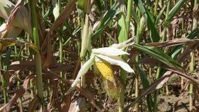 Καλλιεργημένος τομέας με το καλαμπόκι φιλμ μικρού μήκους