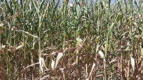 Καλλιεργημένος τομέας με το καλαμπόκι απόθεμα βίντεο