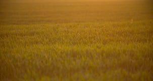 Καλλιεργημένος τομέας του νέου πράσινου σίτου το πρωί απόθεμα βίντεο