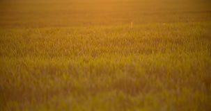 Καλλιεργημένος τομέας του νέου πράσινου σίτου το πρωί φιλμ μικρού μήκους