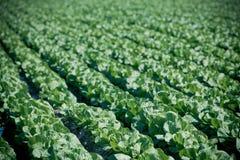 Καλλιεργημένος τομέας: φρέσκες πράσινες σειρές κρεβατιών σαλάτας Στοκ Εικόνες