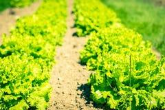 Καλλιεργημένος τομέας: φρέσκες πράσινες σειρές κρεβατιών σαλάτας Στοκ εικόνα με δικαίωμα ελεύθερης χρήσης