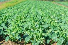 Καλλιεργημένος τομέας: φρέσκες πράσινες σειρές κρεβατιών σαλάτας Στοκ φωτογραφία με δικαίωμα ελεύθερης χρήσης