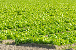 Καλλιεργημένος τομέας: φρέσκες πράσινες σειρές κρεβατιών σαλάτας Στοκ φωτογραφίες με δικαίωμα ελεύθερης χρήσης