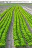 Καλλιεργημένος τομέας: φρέσκες πράσινες σειρές κρεβατιών σαλάτας Στοκ Φωτογραφία