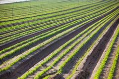 Καλλιεργημένος τομέας: Φρέσκες πράσινες σειρές κρεβατιών Στοκ φωτογραφίες με δικαίωμα ελεύθερης χρήσης