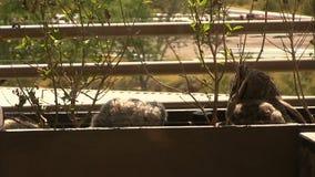 Καλλιεργητής σταυρών Owlet που ανακτεί σε Mom απόθεμα βίντεο