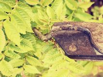 Καλλιτεχνικό δέντρο μπονσάι περιποίησης χεριών κηπουρών hornbeam Στοκ Φωτογραφία