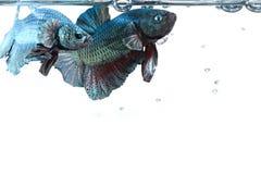 Καλλιτεχνικό ζευγάρι των ψαριών πάλης betta, με τα σύνορα επιφάνειας νερού Στοκ Εικόνες