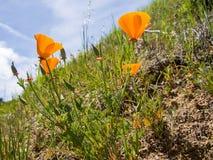 Καλιφορνέζικες χρυσές παπαρούνες στοκ φωτογραφία
