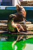 Καλιφορνέζικη στήριξη λιονταριών θάλασσας Στοκ Εικόνες