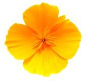 Καλιφόρνιας λουλούδι παπαρουνών που απομονώνεται χρυσό στο λευκό Στοκ Φωτογραφία