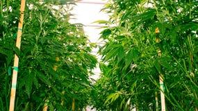 Καλιφόρνια που ονειρεύεται την ιατρική μαριχουάνα Στοκ εικόνα με δικαίωμα ελεύθερης χρήσης