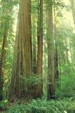 Καλιφόρνια Redwoods Στοκ φωτογραφία με δικαίωμα ελεύθερης χρήσης
