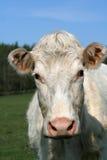 κα μουγκρητού αγελάδων Στοκ Φωτογραφία