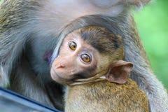 Καλοί πίθηκοι, αστείος πίθηκος Στοκ Φωτογραφία