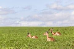 Καλοκαίρι άγριας φύσης Buck Στοκ εικόνα με δικαίωμα ελεύθερης χρήσης