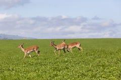 Καλοκαίρι άγριας φύσης Buck Στοκ φωτογραφία με δικαίωμα ελεύθερης χρήσης