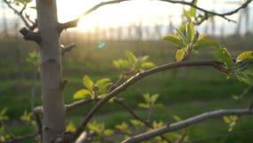 Καλοκαίρι εγκαταστάσεων δέντρων της Apple απόθεμα βίντεο