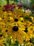 Καλοκαίρι: ηλιοφώτιστα κίτρινα λουλούδια Στοκ Φωτογραφία