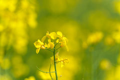 καλοκαίρι συναπόσπορων πανοράματος τοπίων πεδίων κίτρινο Τοπίο πεδίο βάθους ρηχό Στοκ εικόνα με δικαίωμα ελεύθερης χρήσης