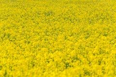 καλοκαίρι συναπόσπορων πανοράματος τοπίων πεδίων κίτρινο Τοπίο Φύση αγροτικής περιοχής Στοκ εικόνες με δικαίωμα ελεύθερης χρήσης