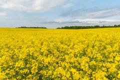 καλοκαίρι συναπόσπορων πανοράματος τοπίων πεδίων κίτρινο Τοπίο Φύση αγροτικής περιοχής Μπλε ουρανός μέσα Στοκ Εικόνα