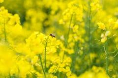 καλοκαίρι συναπόσπορων πανοράματος τοπίων πεδίων κίτρινο Τοπίο Φύση αγροτικής περιοχής πετώντας κορίτσι κοστουμιών μελισσών μικρό Στοκ Φωτογραφίες