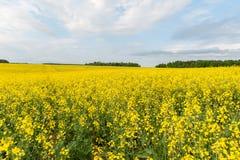καλοκαίρι συναπόσπορων πανοράματος τοπίων πεδίων κίτρινο Τοπίο Φύση αγροτικής περιοχής Μπλε ουρανός μέσα Στοκ Φωτογραφίες