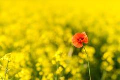 καλοκαίρι συναπόσπορων πανοράματος τοπίων πεδίων κίτρινο Τοπίο Φύση αγροτικής περιοχής Ένα κόκκινο λαϊκό Στοκ Φωτογραφίες