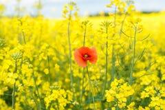 καλοκαίρι συναπόσπορων πανοράματος τοπίων πεδίων κίτρινο Τοπίο Φύση αγροτικής περιοχής Ένα κόκκινο λαϊκό Στοκ Εικόνες