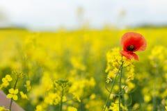 καλοκαίρι συναπόσπορων πανοράματος τοπίων πεδίων κίτρινο Τοπίο Φύση αγροτικής περιοχής Ένα κόκκινο λαϊκό Στοκ Φωτογραφία