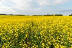 καλοκαίρι συναπόσπορων πανοράματος τοπίων πεδίων κίτρινο Τοπίο Φύση αγροτικής περιοχής Μπλε ουρανός μέσα Στοκ εικόνες με δικαίωμα ελεύθερης χρήσης