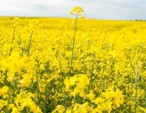 καλοκαίρι συναπόσπορων πανοράματος τοπίων πεδίων κίτρινο Τοπίο Φύση αγροτικής περιοχής Μπλε ουρανός μέσα Στοκ φωτογραφίες με δικαίωμα ελεύθερης χρήσης