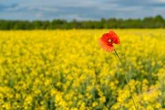 καλοκαίρι συναπόσπορων πανοράματος τοπίων πεδίων κίτρινο Τοπίο Φύση αγροτικής περιοχής Ένα κόκκινο λαϊκό Στοκ εικόνα με δικαίωμα ελεύθερης χρήσης