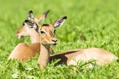 Καλοκαίρι Buck άγριας φύσης Στοκ Εικόνες