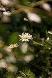Καλοκαίρι chamomiles μέσω του φυλλώματος των δέντρων στοκ εικόνα