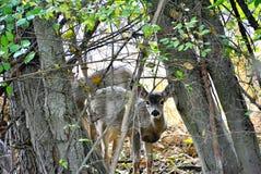 Καλοκαίρι fawn που κρυφοκοιτάζει μέσω των δέντρων Στοκ εικόνα με δικαίωμα ελεύθερης χρήσης