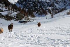Καλπάζοντας άλογα Στοκ φωτογραφίες με δικαίωμα ελεύθερης χρήσης