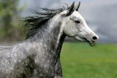 Καλπάζοντας άλογο στο λιβάδι Στοκ φωτογραφίες με δικαίωμα ελεύθερης χρήσης