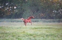 Καλπάζοντας άλογο στο λιβάδι Στοκ φωτογραφία με δικαίωμα ελεύθερης χρήσης