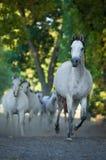 καλπάζοντας άλογο Στοκ φωτογραφίες με δικαίωμα ελεύθερης χρήσης