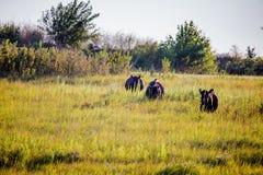 Καλπάζοντας βοοειδή Στοκ φωτογραφία με δικαίωμα ελεύθερης χρήσης