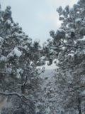 καλυμμένα δέντρα χιονιού π&e Στοκ Φωτογραφία