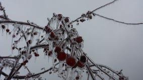 Καλυμμένα πάγος μήλα 3 καβουριών στοκ εικόνες