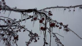 Καλυμμένα πάγος μήλα 3 καβουριών στοκ εικόνα με δικαίωμα ελεύθερης χρήσης